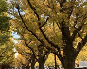 外苑前いちょう並木並木