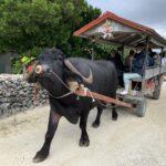 【竹富島 観光】水牛車「新田観光」|どっちがおすすめ?|三線の聞きながらの離島の30分